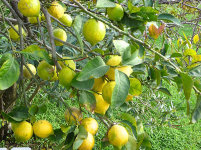 The author's lemon tree, photo by Diana Farr Louis