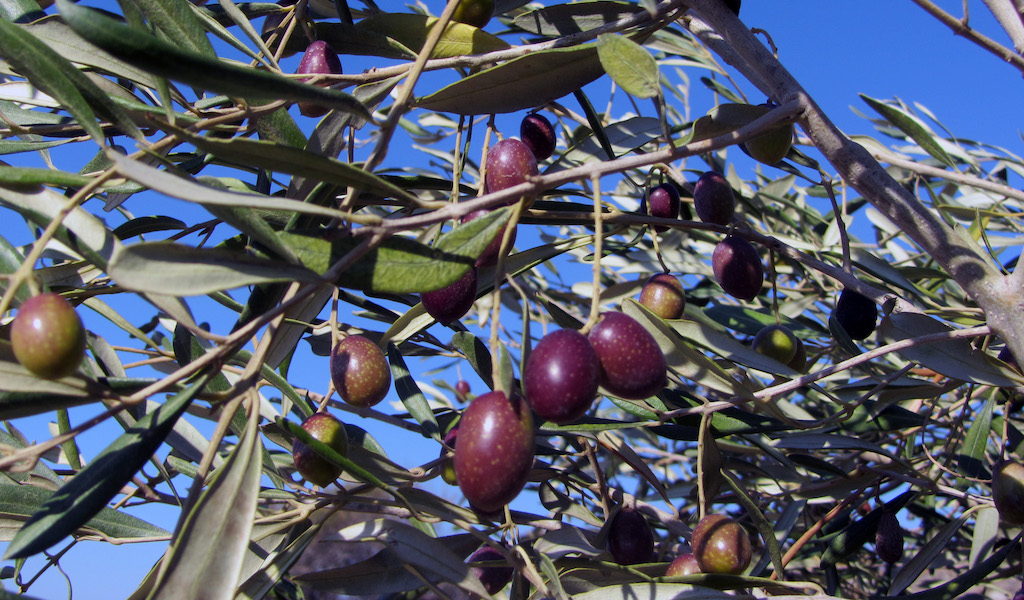 Reflections on the Olive Harvest in Greece | Culinary