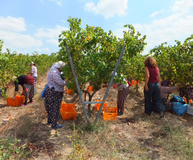 Harvesting sauvignon blanc at Arcadia Vineyards in Thrace, photo by Roxanne Darrow