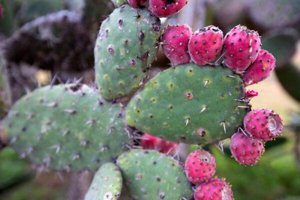 Tuna on a nopal cactus, photo by iStockphoto