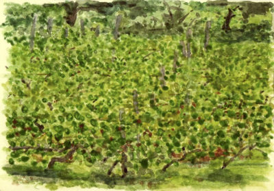 A Kahketi Vineyard. Illustration by Andrew North