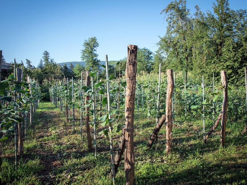 wine samegrelo martvili vineyard